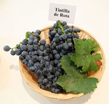 tintilla de rota grapes